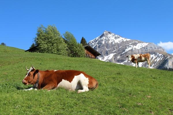fleckvieh cattle in the bernese oberland