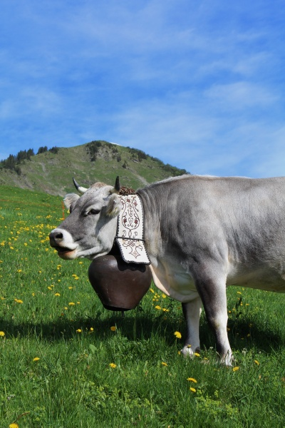 grey cow with beautiful bell