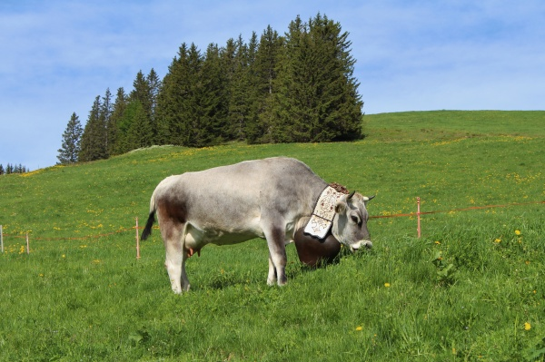 grazing cow with beautiful traditional bell