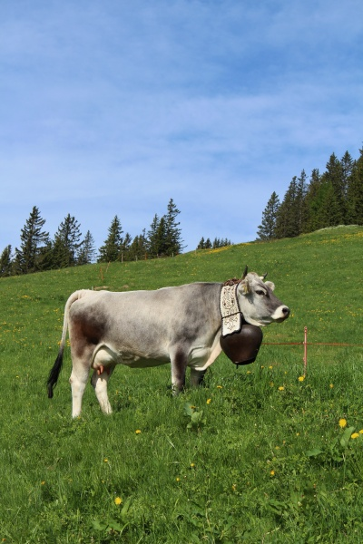 cow with beautiful bell on a