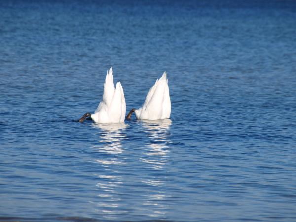 water, north sea, salt water, sea, ocean, swan - 9562970
