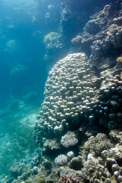 coral reef with grat porites coral