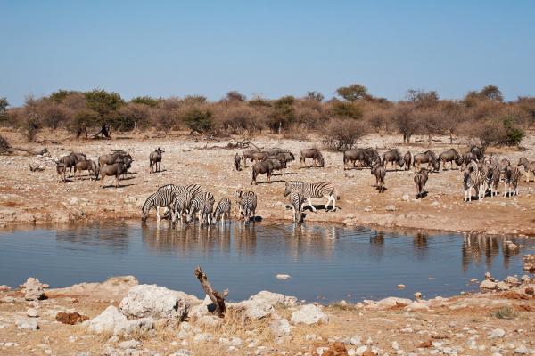 zebras wildebeest