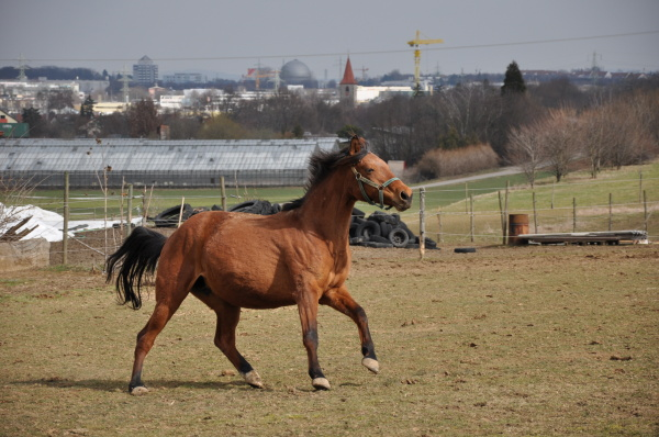 horse gallops over paddock