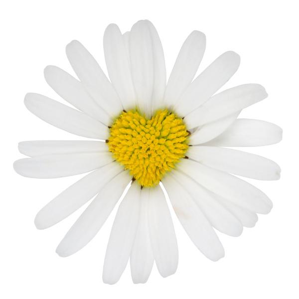 flower daisy as heart love