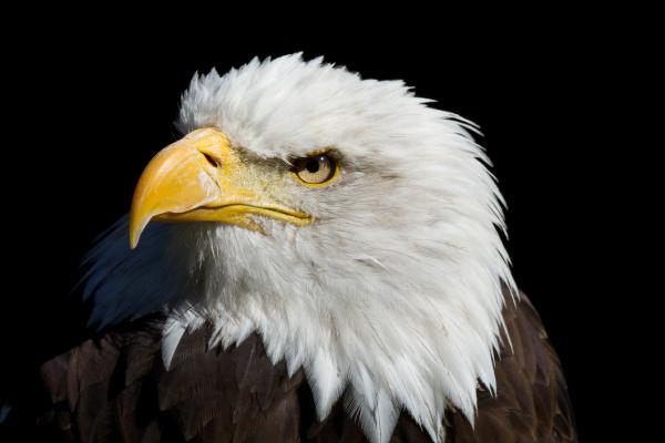eagle - 10099480