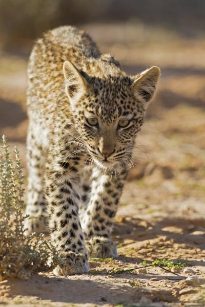 young leopard cub panthera pardus kalahari