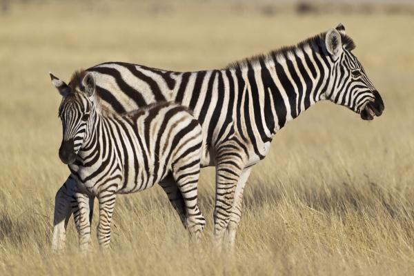 plains zebra common zebra burchells zebra
