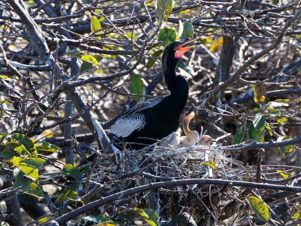 male anhinga calling out in nest