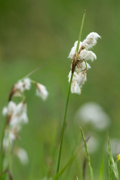 scheiden wollgras bog cotton