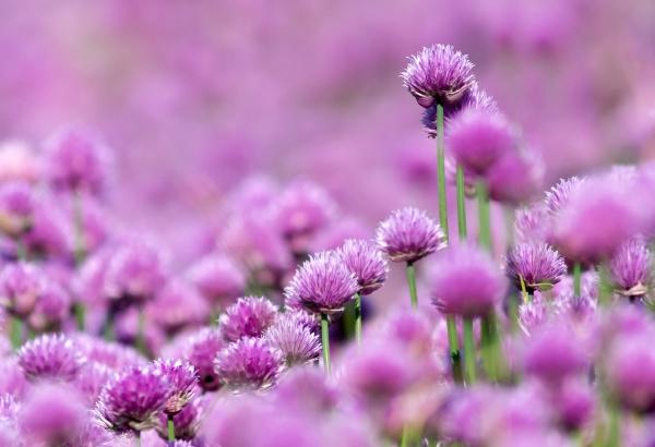 bluehendes schnittlauch feld flowering