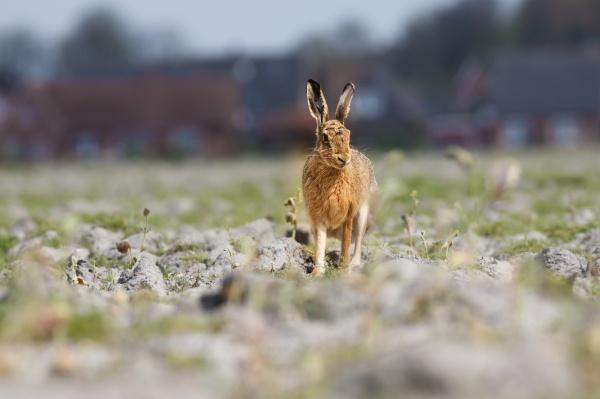 bunnies on the field
