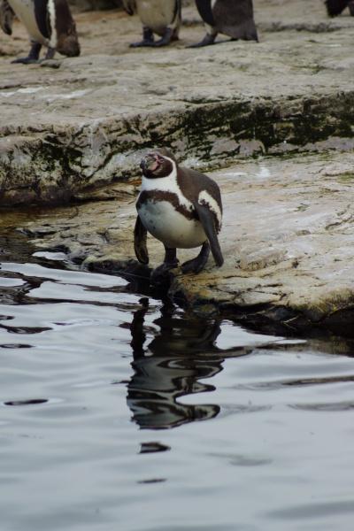 humboldt penguin spheniscus humboldti