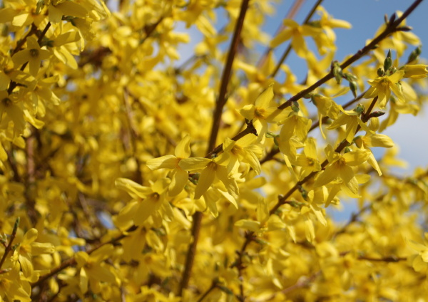 yellow broom flowers in springtime with