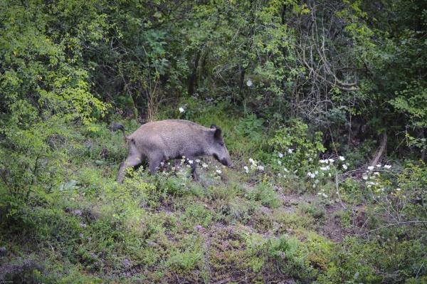wild boar sus scrofa