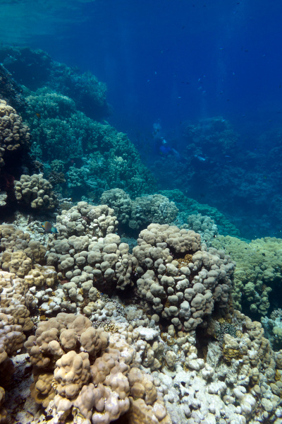 coral reef with hard corals at