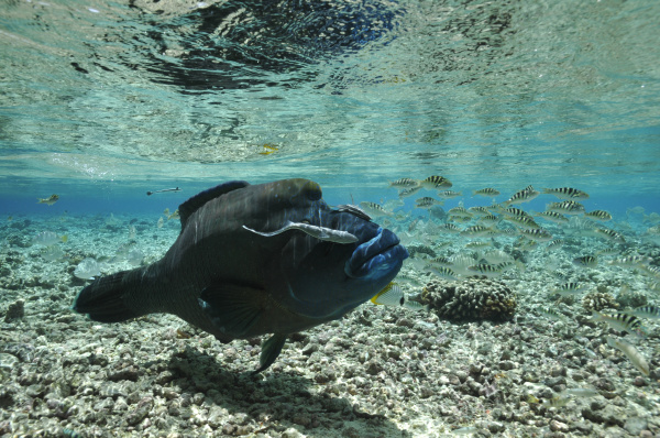 napoleonfish in shallow water