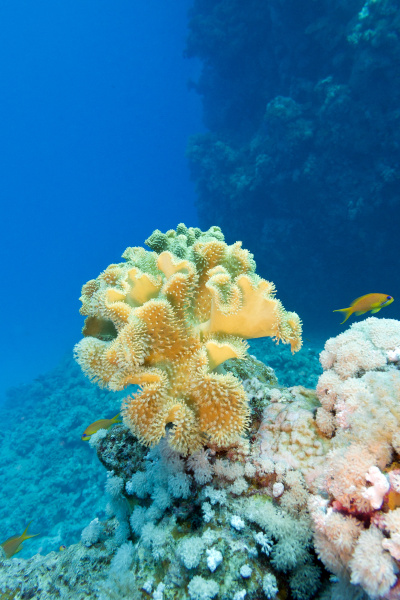 coral reef with great yellow soft