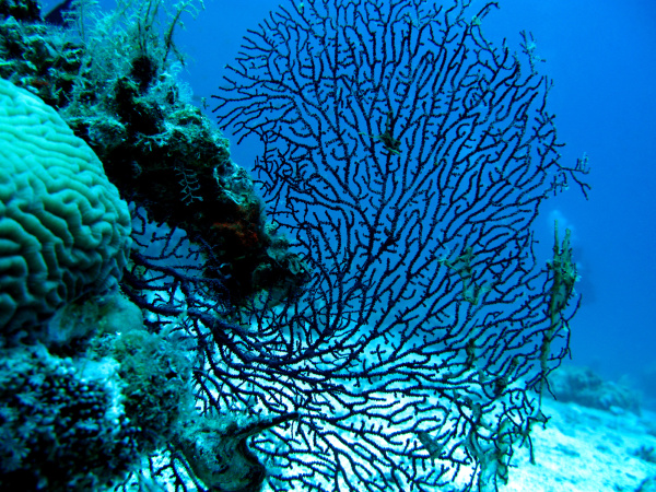 coral reef with gorgonian also known