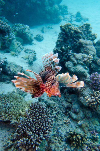 coral reef with lionfish above the