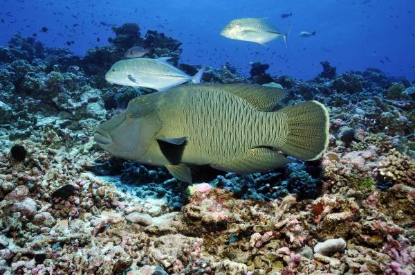 napoleonfish and horse mackerel