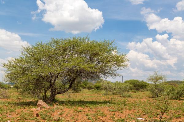 shrubs in the dry savannah grasslands