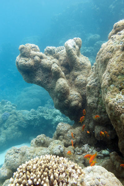 coral reef with exotic fishes anthias