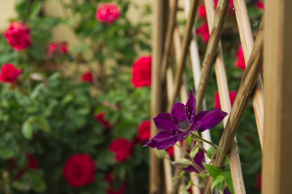 purple coloured clematis on rank aid