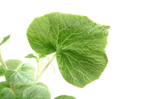 wasabi leaf