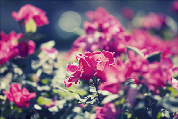pink roses in the park