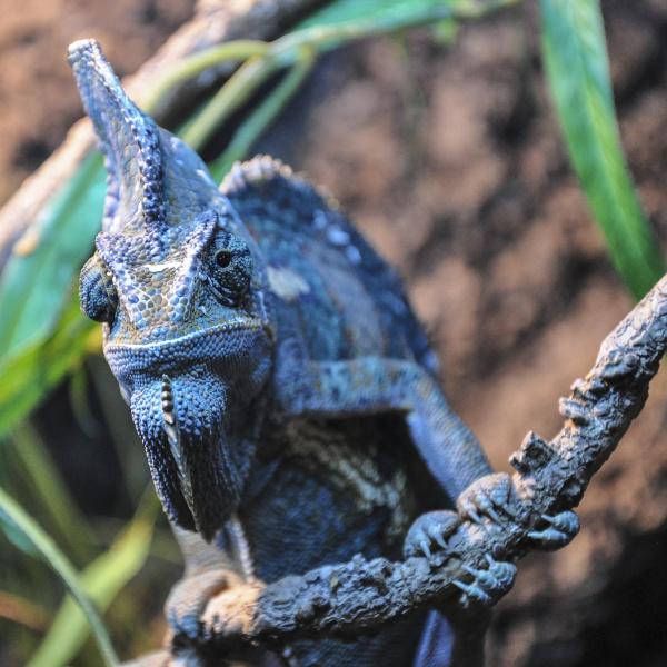 single chameleon on a branch