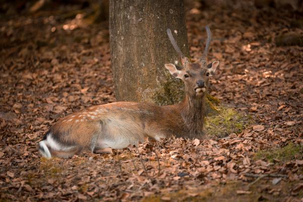 lying fallow deer at autumn time