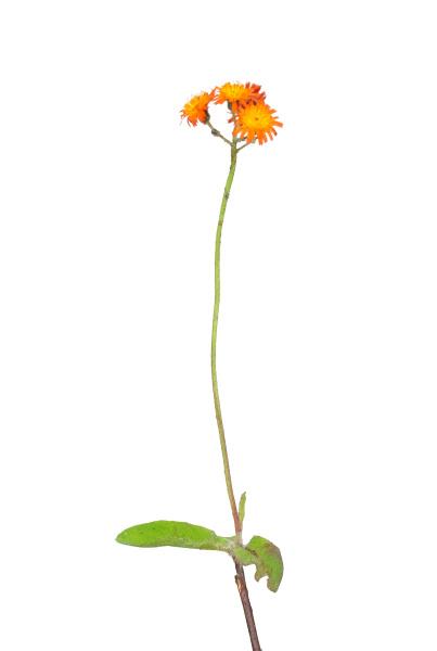 orange red hawksweed hieracium aurantiacum