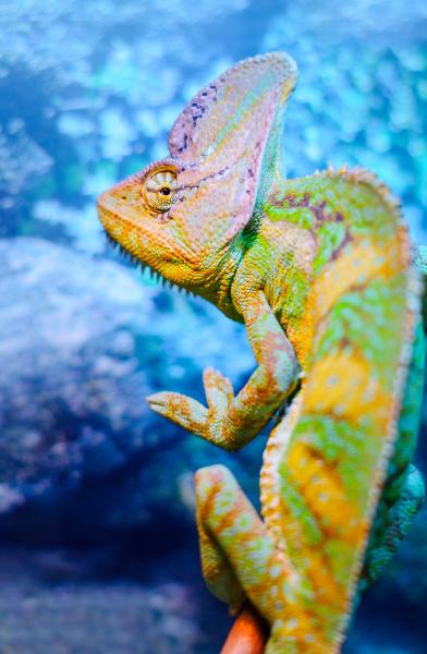 one green chameleon