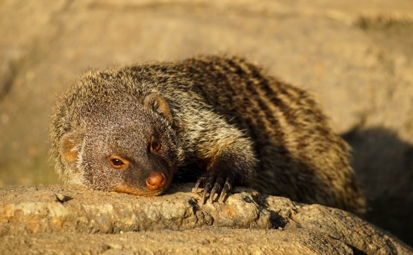 banned mongoose in the sun