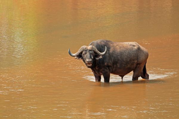 african, buffalo, in, river - 16319509