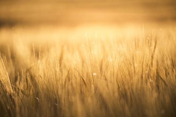 spring, cereals, fields, , sunny, spring - 16320693