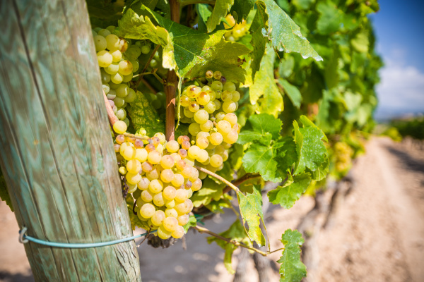 vine, with, white, grapes - 16323427