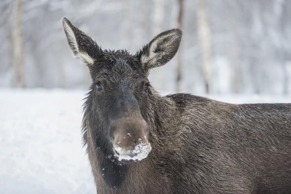 norway bardu portrait of elk with