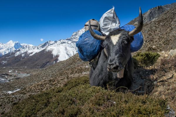 nepal khumbu everest region dingboche yak