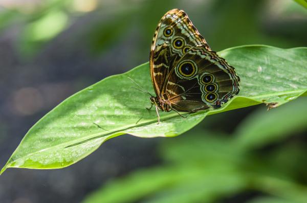 costa rica swallowtail butterfly parides iphidamas