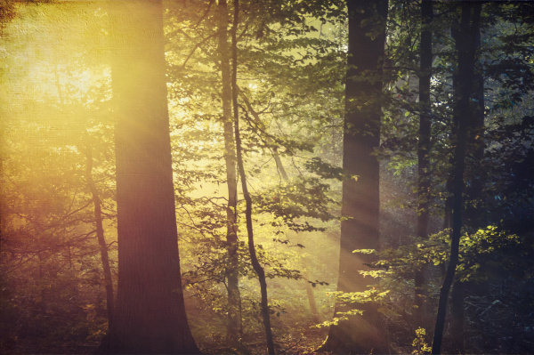 deciduous forest and morning sun in