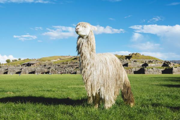 peru cusco white alpaca in front