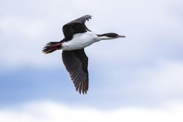 chile cormorant phalacrocorax carbo flying