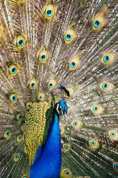 portrait of peacock pavo cristatus