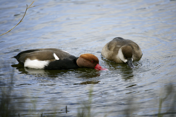 pair of red crested pochards netta