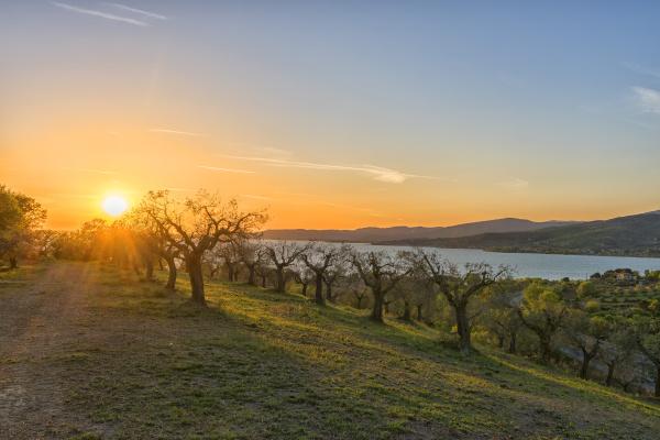 italy umbria lake trasimeno olive grove