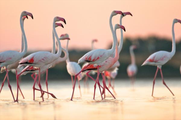 group of flamingos phoenicopterus roseus at