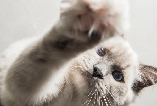 ragdoll cat paw reaching towards camera