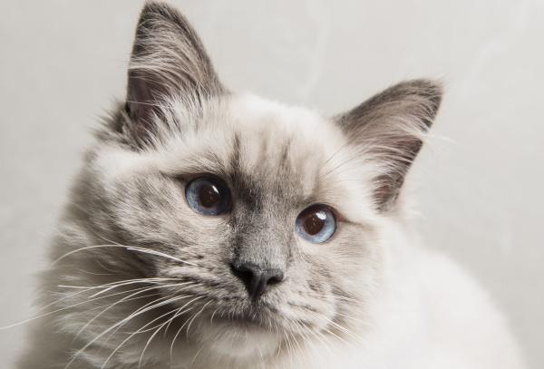 portrait of face of ragdoll cat